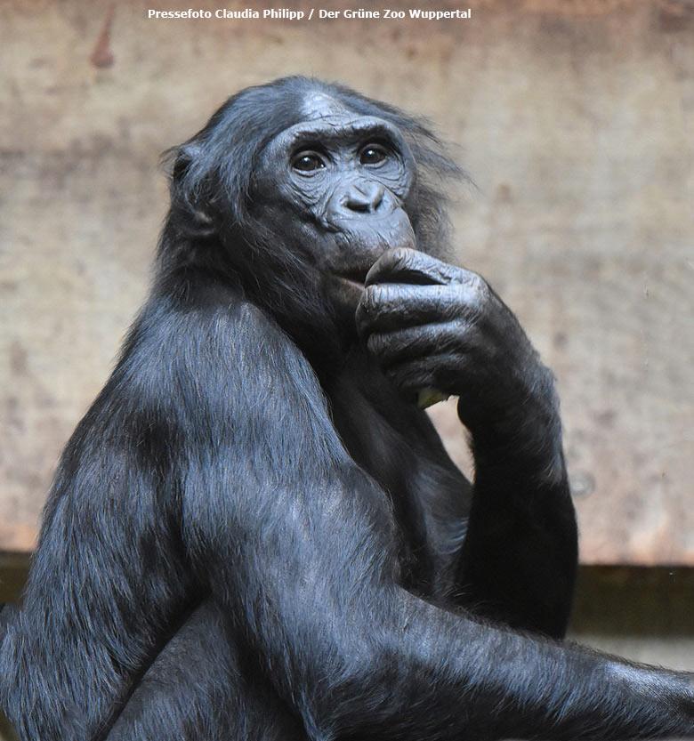 Bonobo Bili
