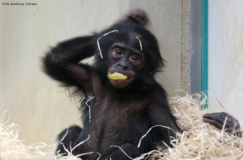 Bonobo Monkey Research Baby Bonobo Monkey