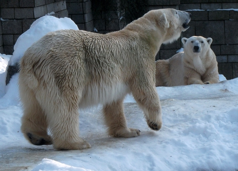 Eisbär (Thalarctos maritimus) am 30. Dezember 2010 im Wuppertaler Zoo ...