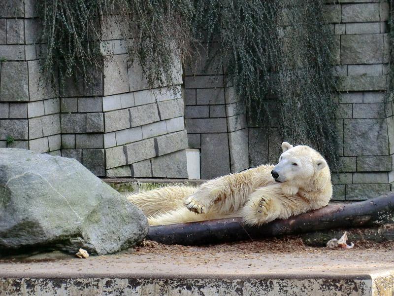 Eisbär LARS am 28. Januar 2012 im Wuppertaler Zoo