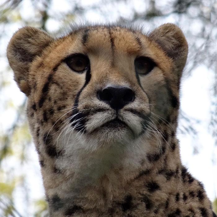 Gepard im wuppertaler zoo im november 2014