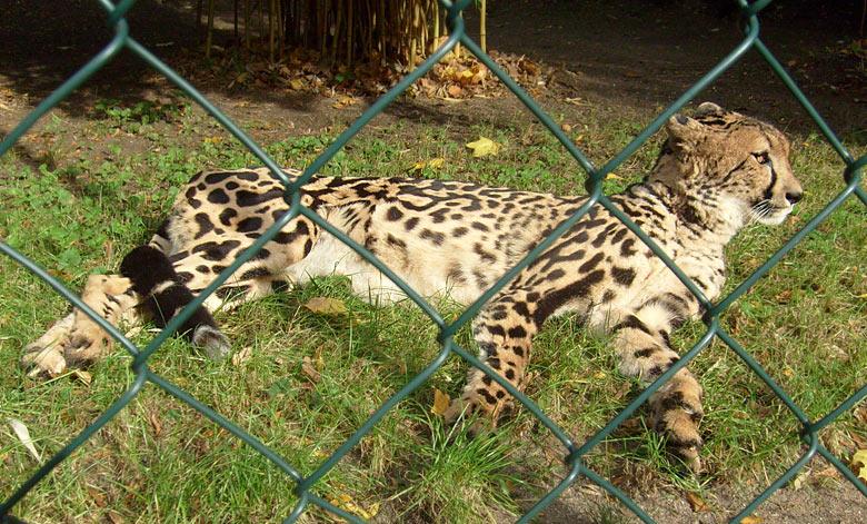 Königsgepard im zoo wuppertal im oktober 2009