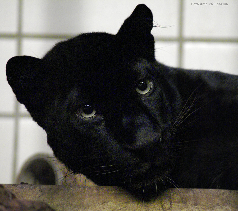 Tiere in NanoPics: panther