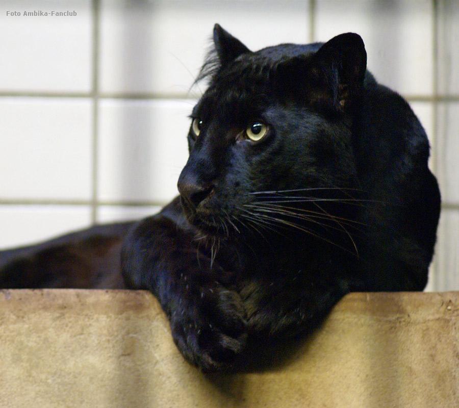 Panther Eigenschaften