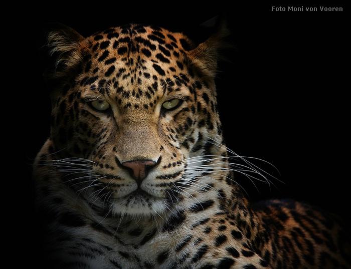 wwwzoowuppertalnet  Leopard