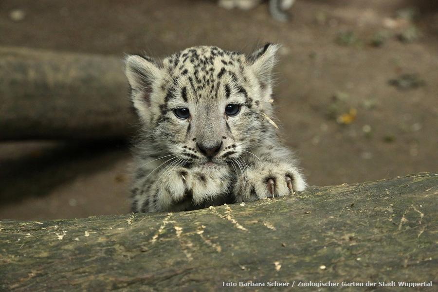 Www Zoo Wuppertal Net Drei Jungtiere Bei Den Schneeleoparden
