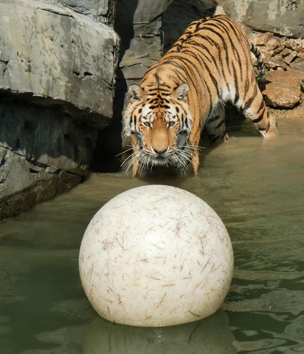 wei er ball als spielzeug f r sibirische tiger. Black Bedroom Furniture Sets. Home Design Ideas
