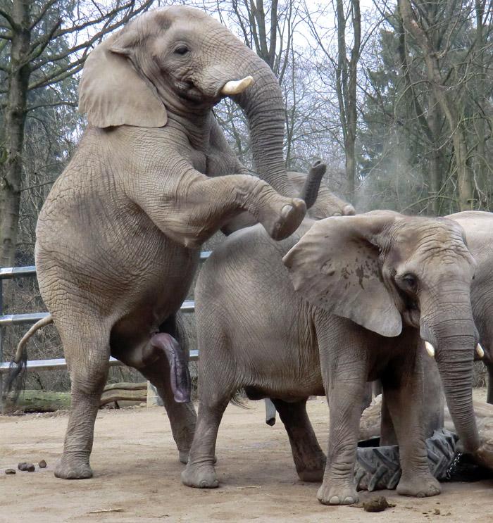 Fortpflanzung Elefanten
