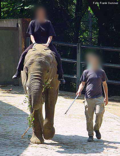 Afrikanischer elefant im wuppertaler zoo im juni 2004 foto frank