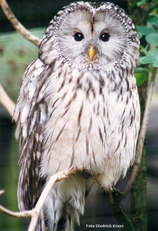 www.zoo-wuppertal.net - Habichtskauz